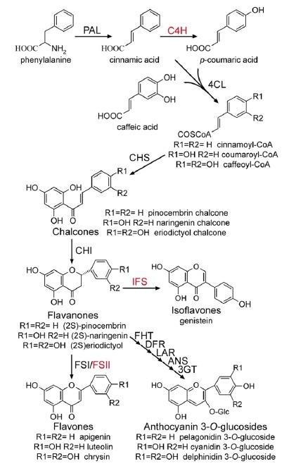 biosintesis flavanoid